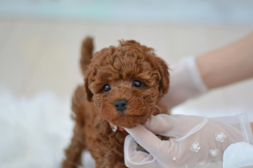 トイプードルの子犬(ID:1234911144)の4枚目の写真/更新日:2021-07-31