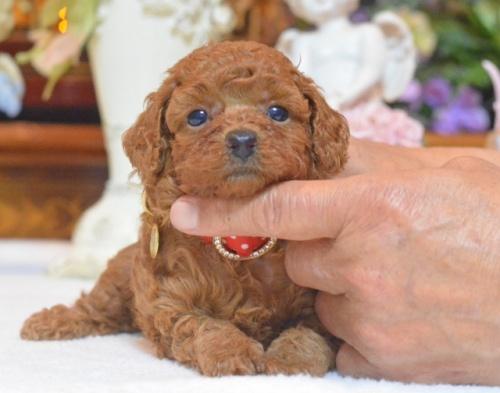 トイプードルの子犬(ID:1234911145)の1枚目の写真/更新日:2017-07-03
