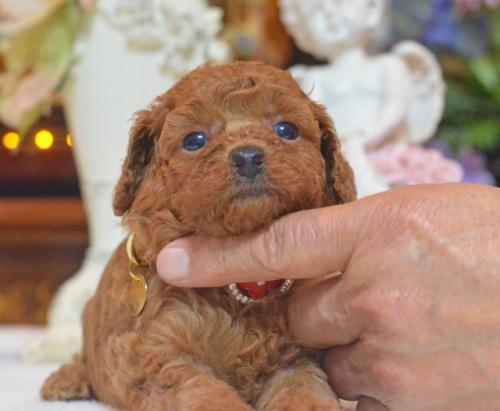 トイプードルの子犬(ID:1234911145)の2枚目の写真/更新日:2017-07-03