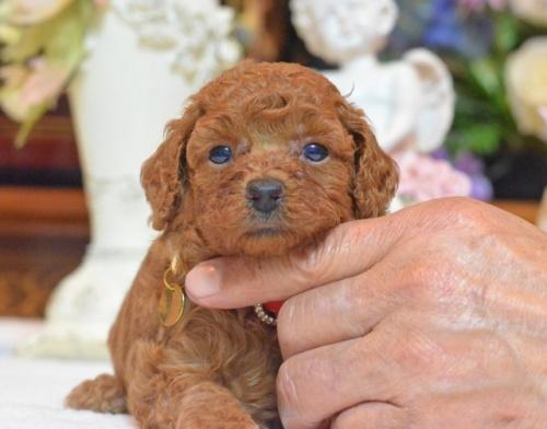 トイプードルの子犬(ID:1234911145)の3枚目の写真/更新日:2017-07-03