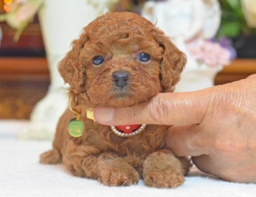 トイプードルの子犬(ID:1234911145)の4枚目の写真/更新日:2017-07-03