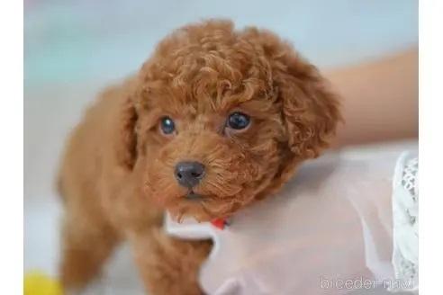 トイプードルの子犬(ID:1234911146)の1枚目の写真/更新日:2017-07-21