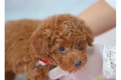 トイプードルの子犬(ID:1234911146)の3枚目の写真/更新日:2017-07-21