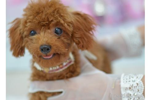 トイプードルの子犬(ID:1234911147)の3枚目の写真/更新日:2021-08-19