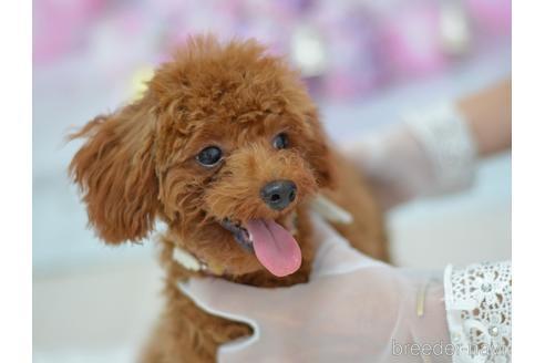トイプードルの子犬(ID:1234911147)の4枚目の写真/更新日:2017-07-14