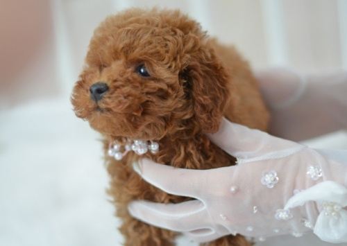 トイプードルの子犬(ID:1234911148)の2枚目の写真/更新日:2017-07-21