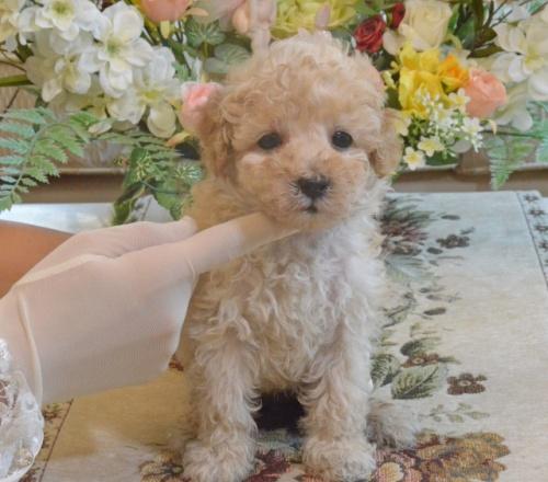 トイプードルの子犬(ID:1234911152)の1枚目の写真/更新日:2019-08-16