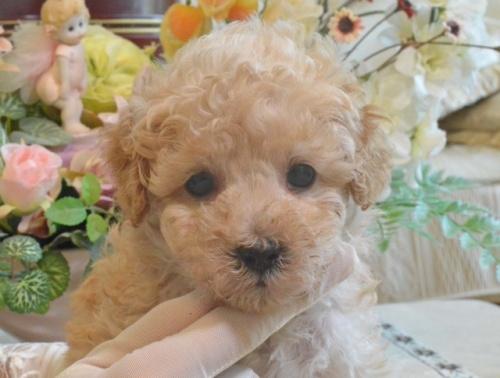 トイプードルの子犬(ID:1234911152)の2枚目の写真/更新日:2019-08-16