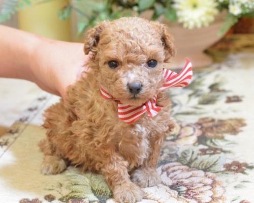 トイプードルの子犬(ID:1234911156)の1枚目の写真/更新日:2017-10-10