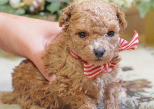 トイプードルの子犬(ID:1234911156)の3枚目の写真/更新日:2017-10-10
