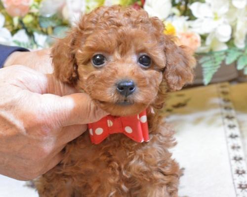 トイプードルの子犬(ID:1234911157)の1枚目の写真/更新日:2017-11-17