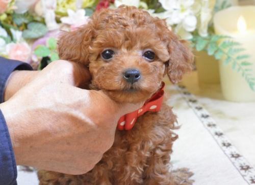 トイプードルの子犬(ID:1234911157)の3枚目の写真/更新日:2017-11-17
