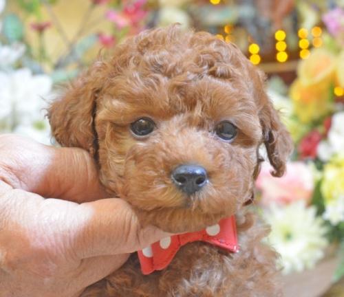 トイプードルの子犬(ID:1234911158)の3枚目の写真/更新日:2017-11-11