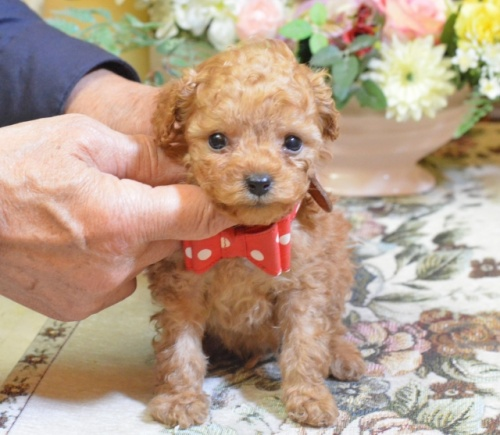トイプードルの子犬(ID:1234911161)の1枚目の写真/更新日:2017-11-22