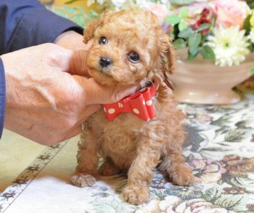 トイプードルの子犬(ID:1234911161)の2枚目の写真/更新日:2017-11-22