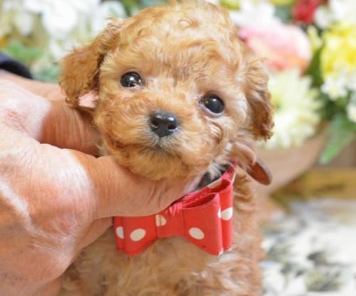 トイプードルの子犬(ID:1234911161)の3枚目の写真/更新日:2017-11-22