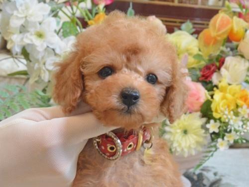 トイプードルの子犬(ID:1234911163)の1枚目の写真/更新日:2019-08-16