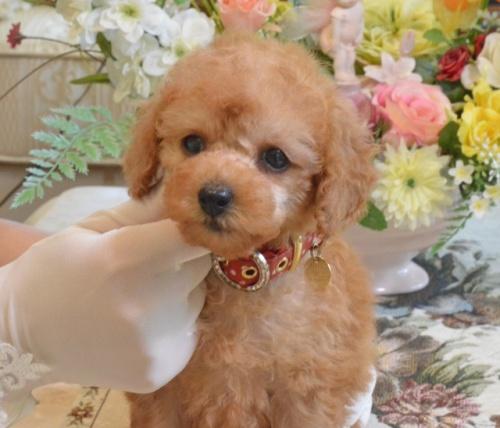 トイプードルの子犬(ID:1234911163)の3枚目の写真/更新日:2019-08-16