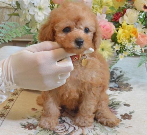トイプードルの子犬(ID:1234911164)の1枚目の写真/更新日:2019-08-16
