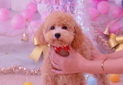 トイプードルの子犬(ID:1234911168)の1枚目の写真/更新日:2019-08-16