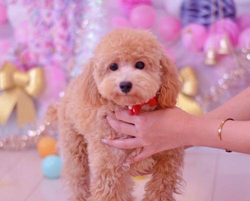 トイプードルの子犬(ID:1234911168)の2枚目の写真/更新日:2019-08-16