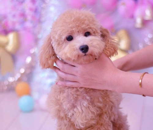 トイプードルの子犬(ID:1234911168)の3枚目の写真/更新日:2019-08-16