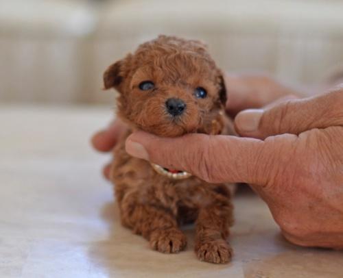 トイプードルの子犬(ID:1234911173)の1枚目の写真/更新日:2018-03-09