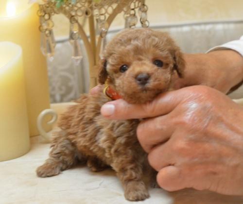 トイプードルの子犬(ID:1234911174)の1枚目の写真/更新日:2018-03-23