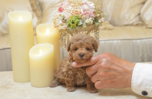 トイプードルの子犬(ID:1234911174)の3枚目の写真/更新日:2018-03-23