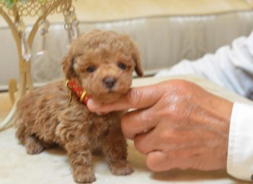 トイプードルの子犬(ID:1234911174)の4枚目の写真/更新日:2018-03-23