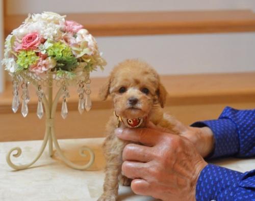 トイプードルの子犬(ID:1234911175)の1枚目の写真/更新日:2018-04-02