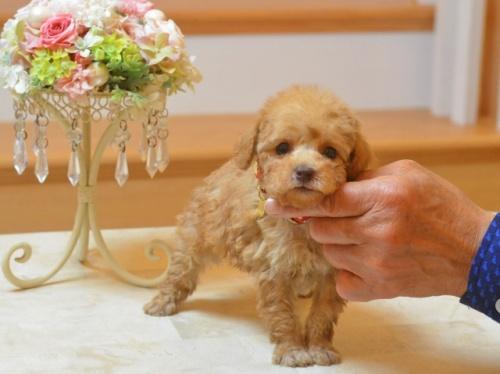 トイプードルの子犬(ID:1234911175)の2枚目の写真/更新日:2018-04-02