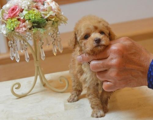 トイプードルの子犬(ID:1234911175)の3枚目の写真/更新日:2018-04-02