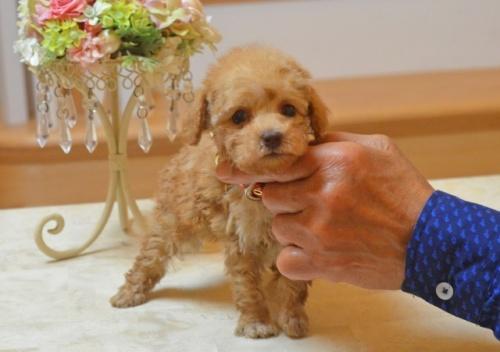 トイプードルの子犬(ID:1234911175)の5枚目の写真/更新日:2018-04-02