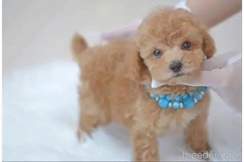 トイプードルの子犬(ID:1234911177)の3枚目の写真/更新日:2018-04-09