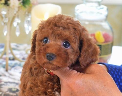 トイプードルの子犬(ID:1234911178)の1枚目の写真/更新日:2018-04-13