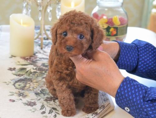 トイプードルの子犬(ID:1234911178)の2枚目の写真/更新日:2018-04-13