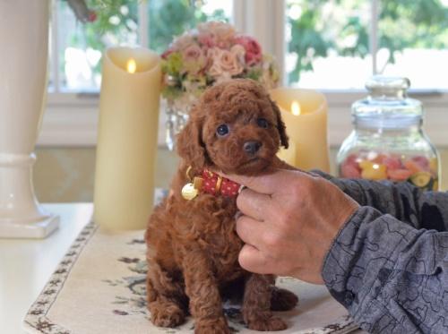 トイプードルの子犬(ID:1234911178)の3枚目の写真/更新日:2018-04-13