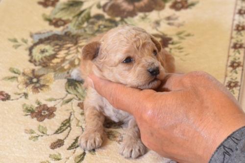 トイプードルの子犬(ID:1234911179)の2枚目の写真/更新日:2018-04-23