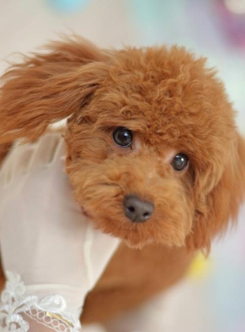 トイプードルの子犬(ID:1234911180)の1枚目の写真/更新日:2018-04-09