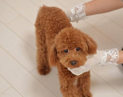 トイプードルの子犬(ID:1234911180)の2枚目の写真/更新日:2018-04-09