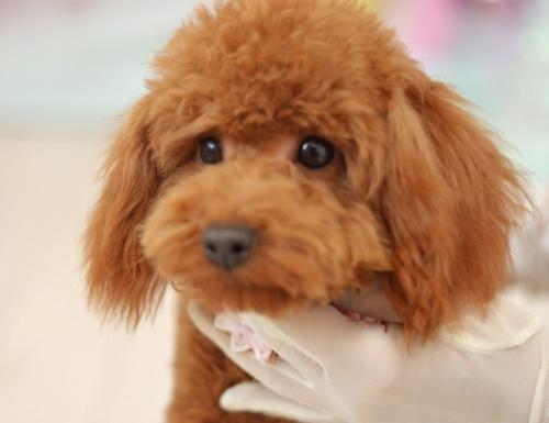 トイプードルの子犬(ID:1234911180)の3枚目の写真/更新日:2018-04-09