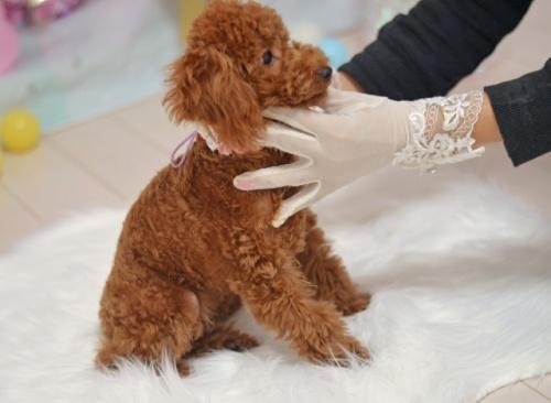 トイプードルの子犬(ID:1234911180)の4枚目の写真/更新日:2021-06-04