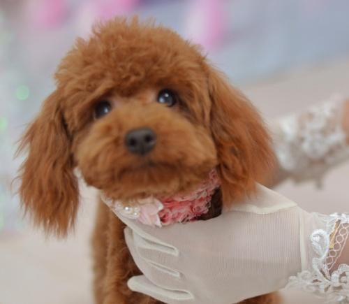 トイプードルの子犬(ID:1234911180)の5枚目の写真/更新日:2021-06-04