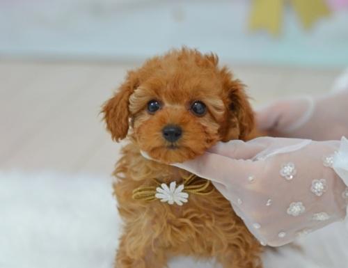 トイプードルの子犬(ID:1234911181)の1枚目の写真/更新日:2018-04-09