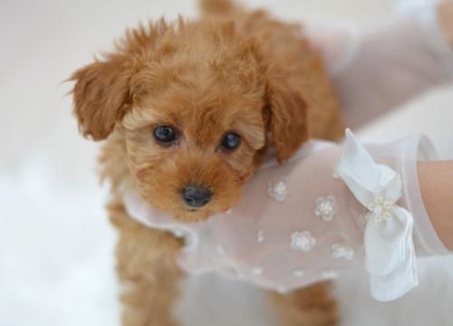 トイプードルの子犬(ID:1234911181)の2枚目の写真/更新日:2021-07-31