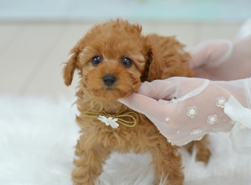 トイプードルの子犬(ID:1234911181)の3枚目の写真/更新日:2018-04-09
