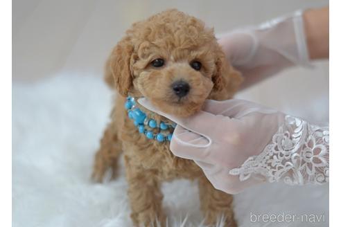 トイプードルの子犬(ID:1234911182)の3枚目の写真/更新日:2021-04-27