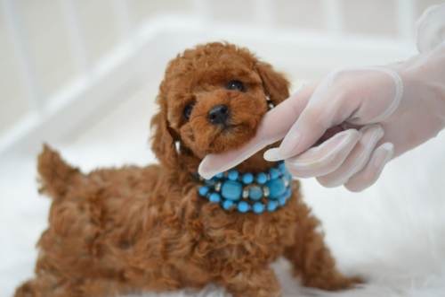 トイプードルの子犬(ID:1234911182)の4枚目の写真/更新日:2021-04-27