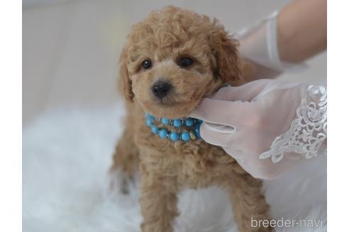 トイプードルの子犬(ID:1234911182)の5枚目の写真/更新日:2021-04-27